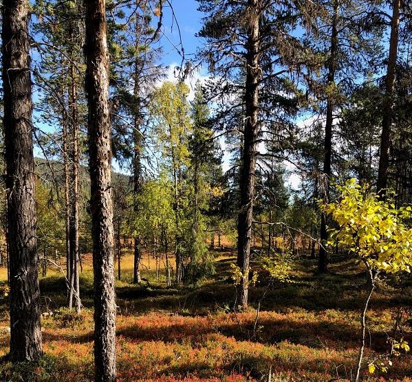 En av de fina, hotade skogarna på Maskaure samebys renbetesmarker i Arjeplog.