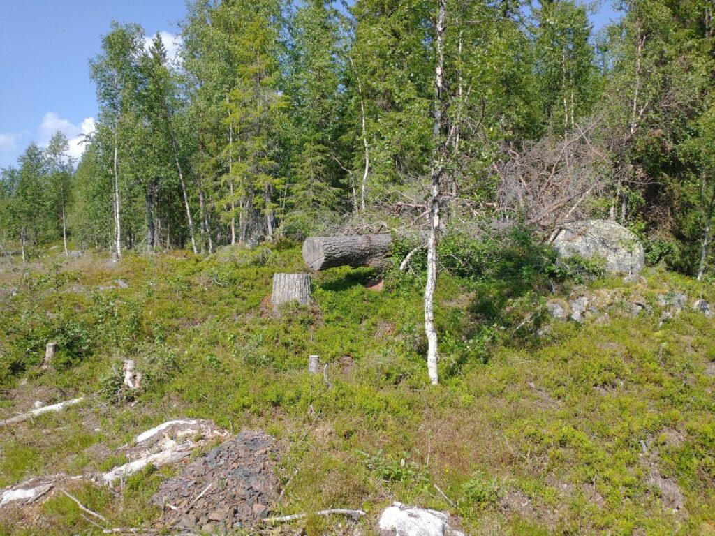 Ett nedsågat naturvärdesträd vid sidan av det pågående bygget av skogsbilväg