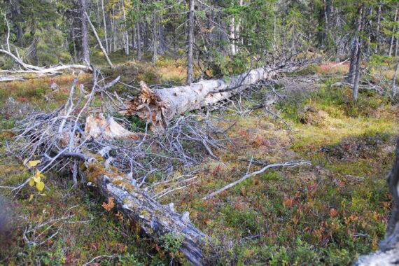 Det finns gott om död ved i naturskogsområdet i Gijmiesgielas som Sveaskog vill avverka - på bilden en grov granlåga. Foto: Björn Mildh.