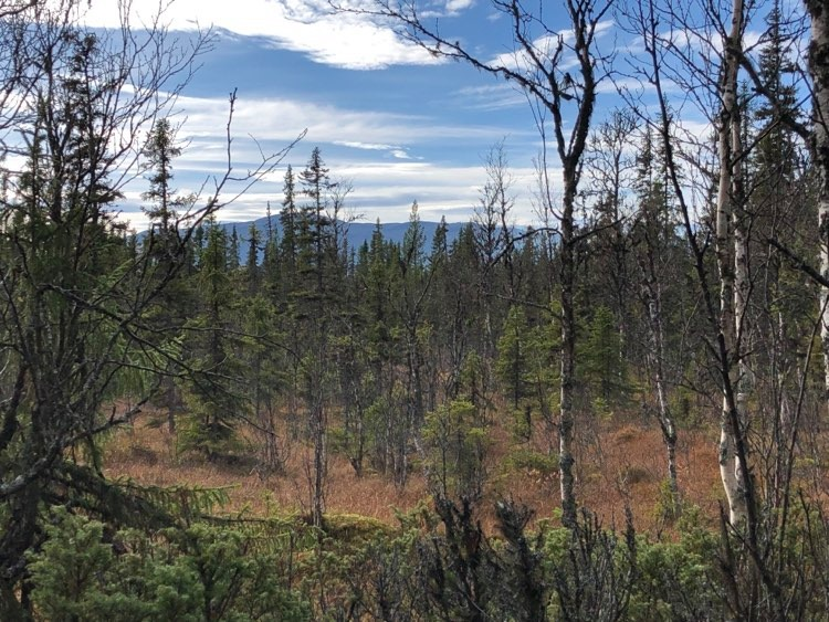 Den fjällnära skogen med björkar och granar i fjärran syns blånande fjäll.